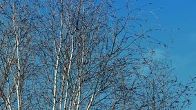 Bare Trees Swaying In Breeze stock video