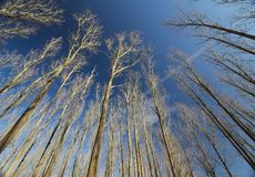 Bare Trees Under Dark Blue Sky Royalty Free Stock Photos