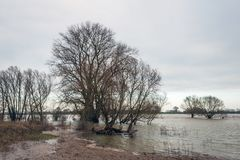 Bare trees in the water of a river. Wide Dutch river outside its banks in the winter season due to the high water level because of the much rain and meltwater Royalty Free Stock Images