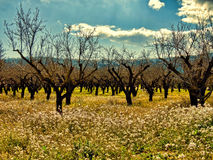 Bare almond trees in white flowers on the ground Stock Images