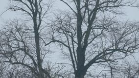 Tree trunks bare in winter. Bare trees in the winter sway in breeze stock footage