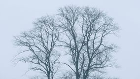 Bare Trees In The Wind. Bare trees in winter sway in the breeze stock video