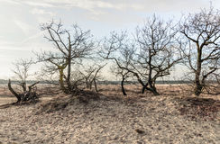 Bare treetops and bushes in the dunes of drifting sands Stock Photos