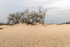 Bare treetops and bushes in the dunes of drifting sands Royalty Free Stock Images