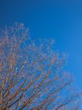 Bare trunk with branches. Against the blue sky Stock Photos