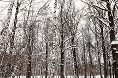Bare trunks of oaks and birches in snowy forest Stock Photography