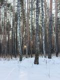 Bare trunks of pines and birches in winter snowy forest stock photo