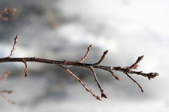 Bare twig. Close-up of twig Royalty Free Stock Photos