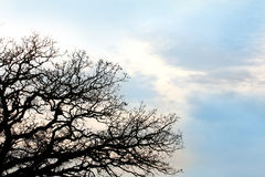 Bare Twisted Oak Tree Branches Silhouetted againt Blue Sky Backg Stock Images