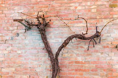 Bare vine on a peeling wall Royalty Free Stock Photography