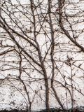 Winter vines against exterior wall background photograph. Bare vines in winter growing vertically up an outside garden wall. Dark spreading vines contrast with Stock Photography