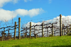 Bare Vines in winter in New Zealand Stock Image
