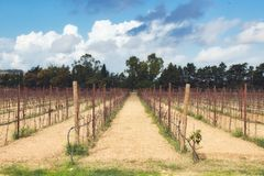 Bare vineyard in the autumn with empty rows of vines royalty free stock photo