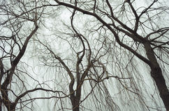 Bare willows Royalty Free Stock Photo