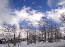 Bare winter aspens and blue sky Royalty Free Stock Photo