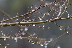 Free Bare Winter Branches Of A Japanese Maple Tree With Hanging Water Drops, Selective Focus Royalty Free Stock Photos - 106451808