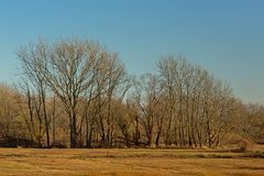 Bare winter elm trees in a sunny marsh landscape with meadows with dried golden gras and reed. On a sunny day with clear blue sky in bourgoyen nature reserve royalty free stock photos