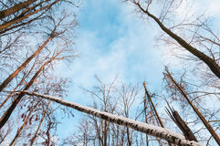 Bare winter forest on blue sky background. Royalty Free Stock Images