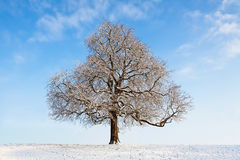 Bare winter tree. Snow-covered bare winter tree Royalty Free Stock Photo