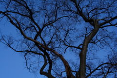 Bare Winter Tree. Photo of bare winter branches against the blue evening sky in January. High winds and brutal cold have stripped the trees of snow and leaves Royalty Free Stock Images