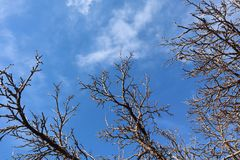Winter Tree Branches against Blue Sky with Clouds royalty free stock image
