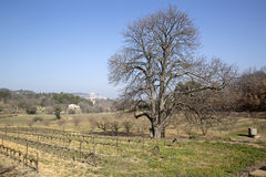 Bare Winter Tree in Countryside outside Bonnieux; Provence. France Royalty Free Stock Image