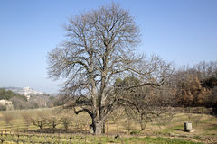 Bare Winter Tree in Countryside outside Bonnieux; Provence. France Royalty Free Stock Images