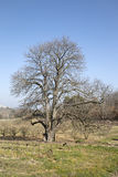 Bare Winter Tree in Countryside outside Bonnieux; Provence Royalty Free Stock Image