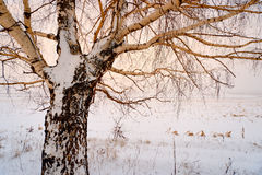 Bare winter tree covered with snow Stock Photography