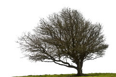 Bare Winter tree  on white Stock Images