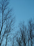 Bare Winter Trees. Bare silhouetted trees against an evening sky at evening time Stock Photo