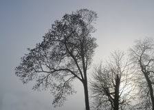 Bare winter trees. Looking up at bare winter trees on grey winter`s morning Stock Photo