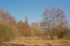 Bare winter trees and shrubs and dry yellow reed against a clear blue sky Royalty Free Stock Photos