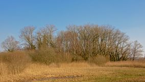 Bare winter trees and shrubs and yellow reed in a marsh with a clear blue sky Royalty Free Stock Photos