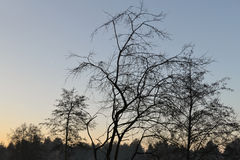 Bare winter trees during sunrise. Bare winter trees making silhouette against clear blue sky during sunrise Royalty Free Stock Photo