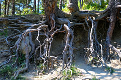Bared roots of tree in forest Royalty Free Stock Image