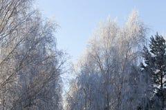 Bared treetops Stock Photography