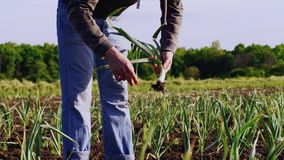 Barefoot man on field tears green garlic and cleans it from dry leaves and dirt. Barefoot farmer on farm field walks among garlic plants in a row, tilts and stock video