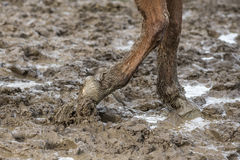Barefoot horse in the mud. Barefoot horse walks in the mud Royalty Free Stock Photo