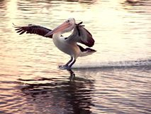 Pelican bird landing on a river. At sunset Royalty Free Stock Images