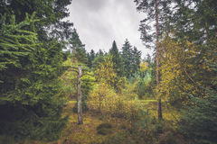 Barenaked tree in a forest with colorful trees. In the fall Royalty Free Stock Photos
