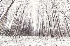 Barenaked trees in a forest covered in snow stock images