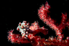 Bargibanti Pigmy Sea Horse in indonesia Stock Photography