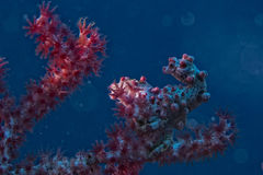 Bargibanti Pigmy Sea Horse Royalty Free Stock Images