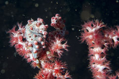 Bargibanti Pigmy Sea Horse the smallest in the world Stock Images