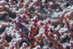 Bargibanti Pigmy Sea Horse the smallest in the world Royalty Free Stock Photos