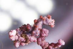 Bargibanti pygmy seahorse Stock Images