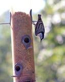 Bargiel na ptasim dozowniku Zdjęcie Royalty Free