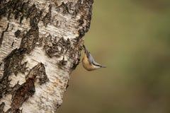 Bargiel, Sitta europaea, ptak śpiewający obrazy stock