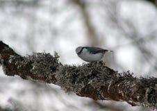 Bargla obsiadanie na drzewie zdjęcia stock